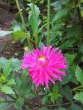 Blühende Dahlie Stockfoto