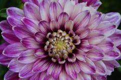 Blühende Dahlie Stockfotos