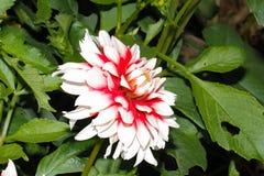 Blühende Dahlie in einem Garten lizenzfreies stockbild