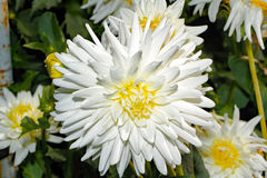 Blühende Dahlie in einem Garten stockfotos