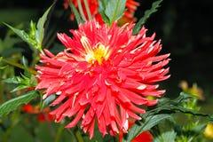 Blühende Dahlie in einem Garten lizenzfreie stockfotos