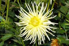 Blühende Dahlie in einem Garten lizenzfreie stockfotografie