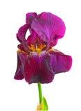 Blühende dunkle purpurrote Farbennahaufnahme der Blende Lizenzfreie Stockbilder