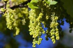 Blühende Eiche, Frühling Lizenzfreies Stockfoto