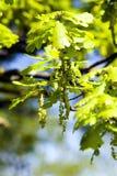 Blühende Eiche, Frühling Lizenzfreie Stockfotografie