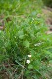 Blühende Erdbeerblume und andere Anlagen in der grünen Rasenfläche lizenzfreies stockbild