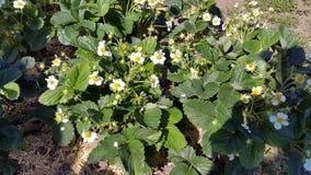 Blühende Erdbeeren Lizenzfreie Stockfotografie