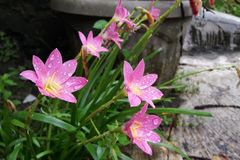 Blühende feenhafte Lilienblume im Garten lizenzfreie stockbilder