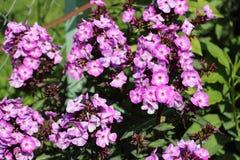 Blühende Flammenblume im Garten im Sommer Stockbild