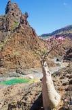 Blühende Flaschenbäume in der Oase von Dirhur, natürliches Pool, Socotra-Insel, der Jemen Lizenzfreie Stockbilder