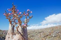 Blühende Flaschenbäume in der Oase von Dirhur, natürliches Pool, Socotra-Insel, der Jemen Stockfotos