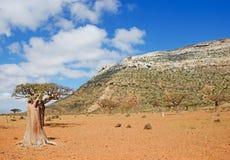 Blühende Flaschenbäume im Dragon Blood-Baumwald, rote Felsen, Socotra, der Jemen Stockfoto