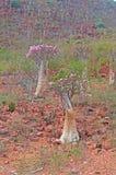 Blühende Flaschenbäume im Dragon Blood-Baumwald, rote Felsen, Socotra, der Jemen Lizenzfreie Stockfotografie