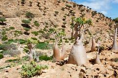 Blühende Flaschenbäume im Dragon Blood-Baumwald, rote Felsen, Socotra, der Jemen Lizenzfreies Stockfoto