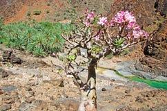 Blühende Flaschenbäume, Palmen und rote Felsen in der Oase von Dirhur, natürliches Pool, Socotra-Insel, der Jemen Stockfotografie