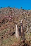 Blühende Flaschenbäume und Dragon Blood-Bäume im Schutzgebiet von Dixam-Hochebene, Socotra-Insel, der Jemen Lizenzfreie Stockfotografie