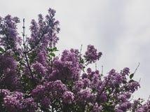 Blühende Flieder Stockfotografie