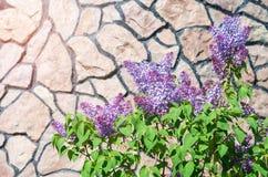 Blühende Flieder gegen den Hintergrund der Wand Stockbilder