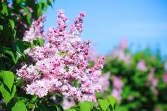 Blühende Flieder im Frühjahr Stockfoto