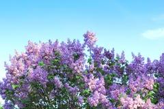 Blühende Flieder im Frühjahr Lizenzfreie Stockfotos