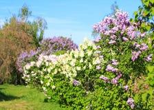 Blühende Flieder im Frühjahr Stockfotografie