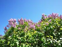 Blühende Flieder im Frühjahr Schöne Natur im Frühjahr sonderkommandos stockfoto