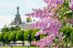 Blühende Flieder in St Petersburg mit Kirche des Retters auf Spilled Blut als Hintergrund, Russland lizenzfreies stockfoto