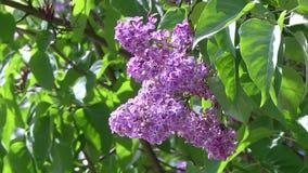 Blühende Fliedern im botanischen Garten stock video