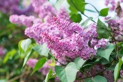 Blühende Fliedern Tapeten mit Frühlingsblumen Lizenzfreie Stockfotos