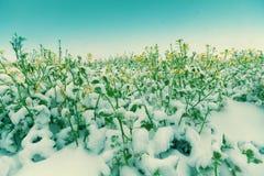 Blühende Forderung durchgesetzt mit Schnee Stockfotos
