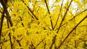 Blühende Forsythie im Frühjahr, färbt Hintergrund gelb Stockfotografie