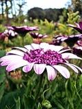 Blühende Frühlings-Blumen Lizenzfreie Stockfotos