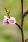 Blühende Frühlingsbaumblume stockbilder