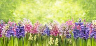 Blühende Frühlingshyazinthen-Blumenanlage im Garten