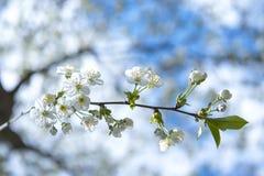 Blühende Frühlingskirsche - weiße Blüten Stockbilder