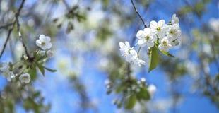 Blühende Frühlingskirsche - weiße Blüten Stockfoto