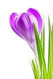 Blühende Frühlingskrokusblumen-Fliederfarbe Stockfotografie