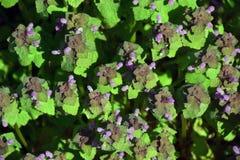 Blühende frische Minze stockfoto