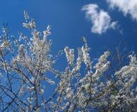 Blühende Fruchtbaumaste Stockbilder