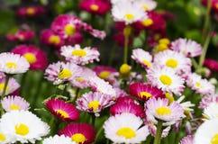 Blühende Gänseblümchen auf dem Gebiet Lizenzfreie Stockbilder