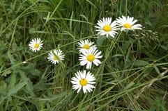 Blühende Gänseblümchen, Blume, jährlich Stockfotografie
