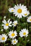Blühende Gänseblümchen des Frühlinges Stockbilder
