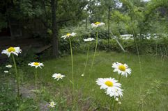 Blühende Gänseblümchen, weiß mit gelber Blume Lizenzfreie Stockbilder