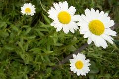 Blühende Gänseblümchen, weiß mit gelber Blume Stockfotografie