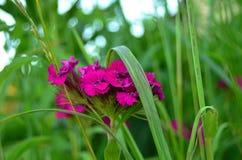 Blühende Gartennelke im hohen Gras stockbild