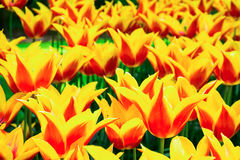 Blühende gelb-rote Tulpen im Rasen, selektiver Fokus, Keukenhof Lizenzfreie Stockfotografie