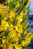 Blühende gelbe Blüten im Frühjahr Lizenzfreie Stockfotografie
