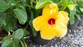 Blühende gelbe Blume Lizenzfreie Stockfotos