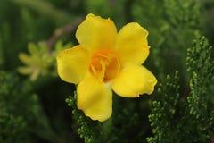 Blühende gelbe Blume am Abend Lizenzfreies Stockbild