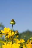 Blühende gelbe Blumen Lizenzfreie Stockfotos